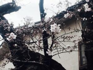 氷川神社の桜